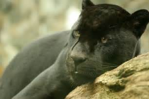Zoo Jaguar File Black Jaguar Edin Zoo Jpg Wikimedia Commons