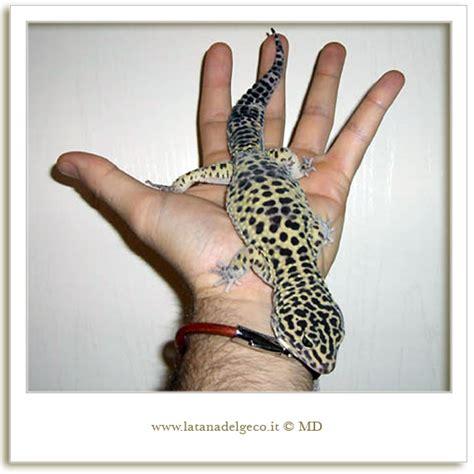 geco leopardino alimentazione i gechi leopardini di michele