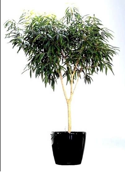 ficus plant    feet tall office  home plant