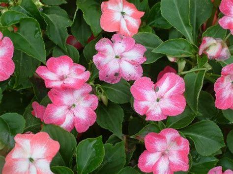 piante di vetro fiori pianta di vetro consigli coltivazione e cura