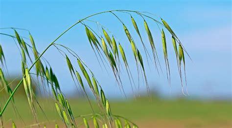 oat fiori di bach con oat addio a dolori e insicurezze riza it