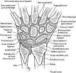 Bones of the wrist bones of the wrist and hand for dummies
