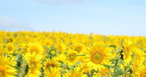 flowers sky nature light plant bloom hd wallpapers nature landscape plant flower flowers sunflower sunflowers
