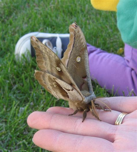 big brown big brown moth moving to freedom org on