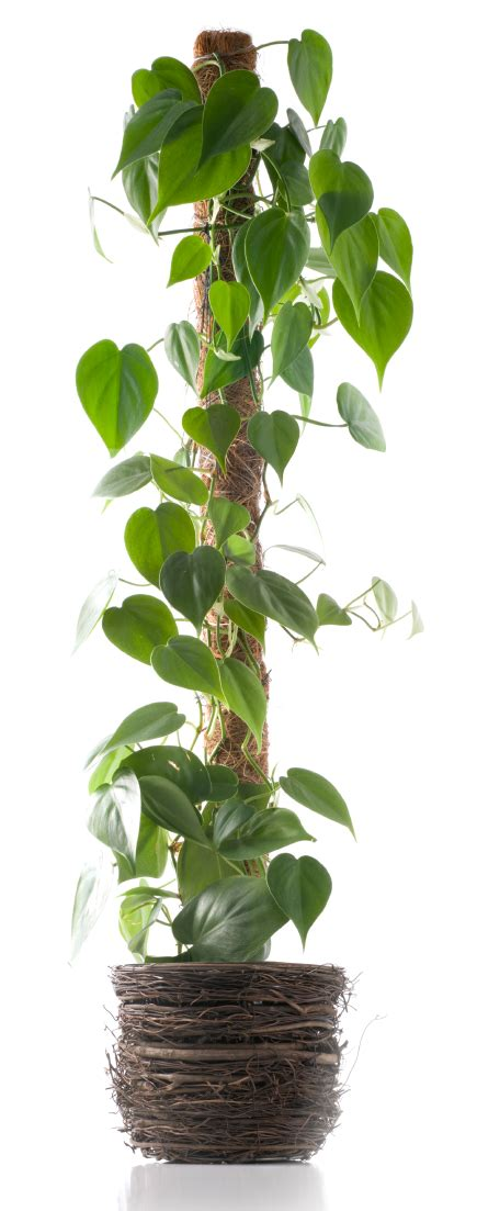 vine house plants how to support climbing houseplants indoors