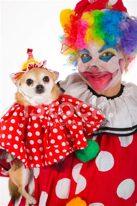 clown costume for dogs clown and chihuahua in costume stock photos freeimages