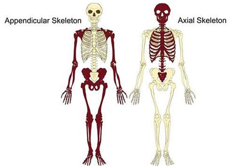 appendicular skeleton diagram pictures of axial skeleton