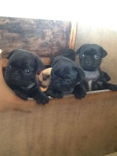 kc registered pug puppies for sale uk beautiful kc registered pug puppies for sale alfreton derbyshire pets4homes
