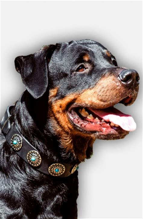 rottweiler with blue buy stylish wide leather collar with blue stones for rottweiler