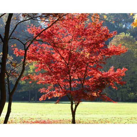 Erable Du Japon by 201 Rable Du Japon Pourpre Acer Palmatum Atropurpureum