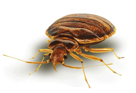 Are Bed Bugs Flat by International Plastics Blogbed Bugs Archives
