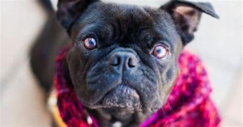 pug rescue tulsa mae boston terrier pug mix available for adoption through mid atlantic pug