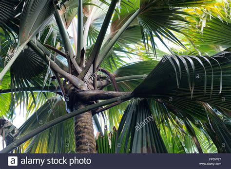 Palme Im Garten 1583 by Crown Stockfotos Crown Bilder Alamy