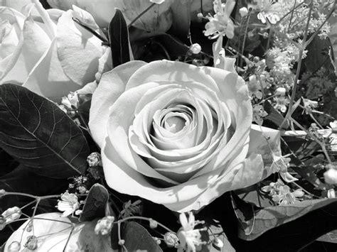 Bibit Mawar Hitam Dan Biru bunga mawar hitam putih images