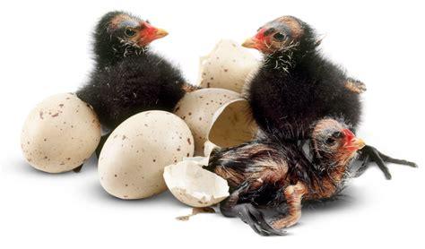 how to hatch bird eggs bird hatching eggs hatching dk find out