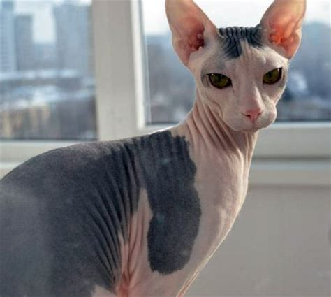 with no hair mexican hairless cats