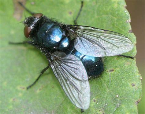 Blus Fly by Protophormia Terraenovae