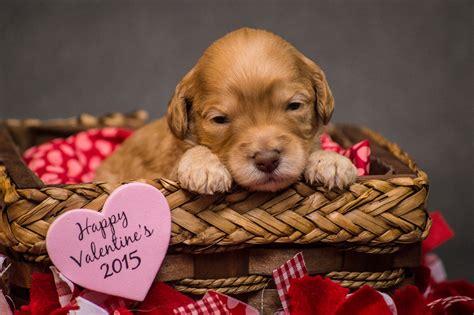 labradoodle puppies nc buy labradoodle puppies australian labradoodle breeders in asheville carolina