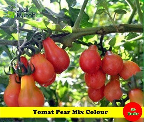 benih tomat pear mix colour maica leaf jualbenihmurah