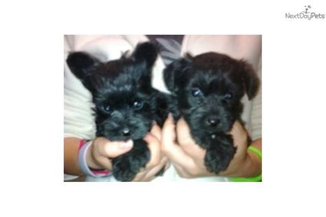 yorkie poo indiana yorkie poos for sale in indiana breeds picture