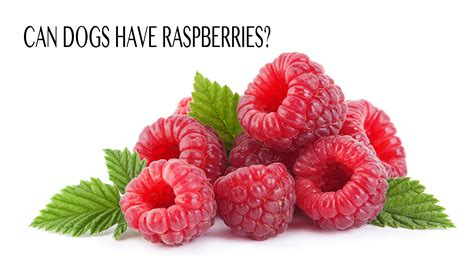 raspberries for dogs can dogs raspberries the happy puppy site investigates