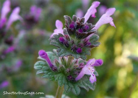 pretty purple weed shutterbugsage com