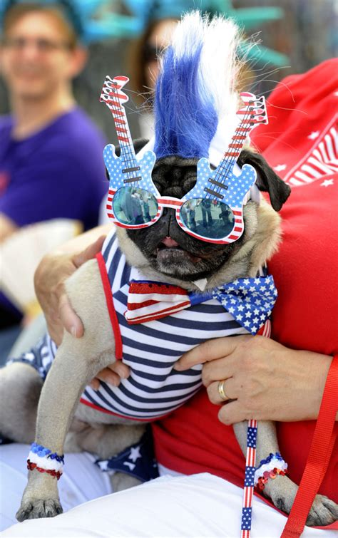 patriotic pug porky dressed as the quot patriotic pug quot is held by his owner nancy metzger from bel