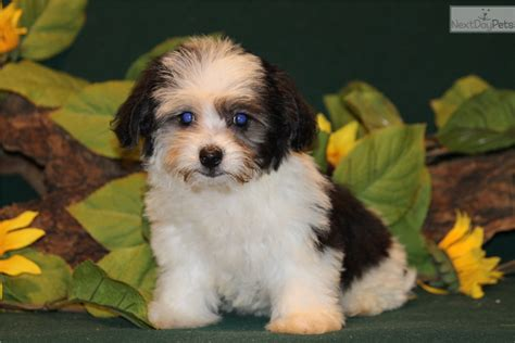 havanese puppies for sale in dallas havanese puppy for sale near dallas fort worth a86dcdcd 9341