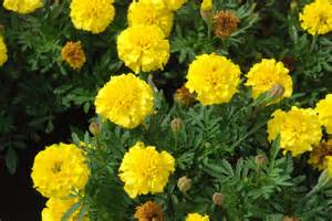 marigold colors marigold