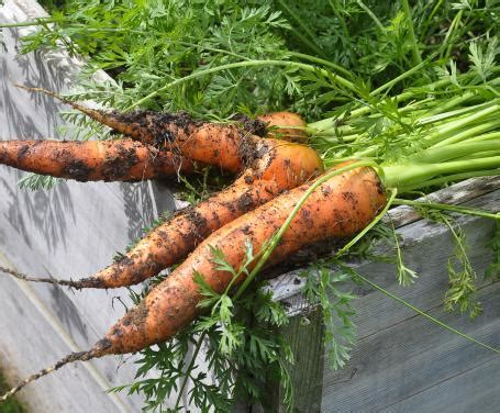 coltivare carote in vaso come coltivare le carote in vaso consigli e indicazioni
