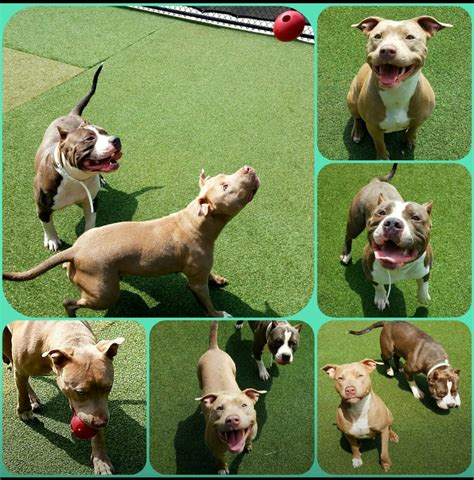 pitbull puppies for sale in new orleans kingmaull bullies american pit bull terrier breeder new orleans louisiana