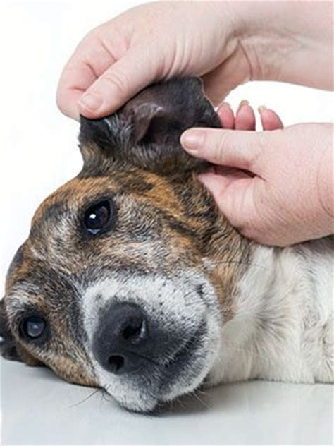 mrsa in dogs what you need to about your and mrsa healthdarts
