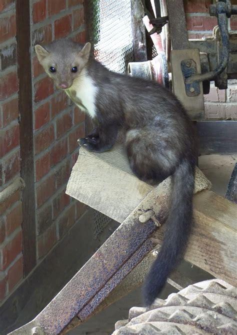 imagenes del animal weta martes foina wikipedia la enciclopedia libre