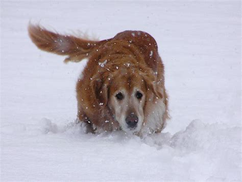 golden retriever saves owner loyal stays with paralyzed owner in the snow for 20 hours