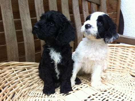 sproodle puppies ready now black white sproodle springerpoo pup east pets4homes
