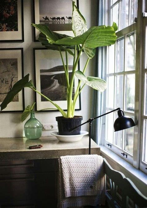 indoor elephant ear greenery pinterest the winter a month and elephant ears