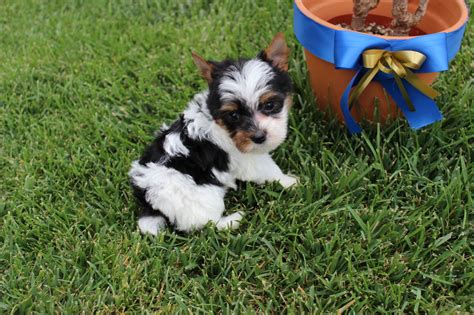 yorkie puppies for sale in riverside ca yorkie puppies for sale in california we currently parti breeds picture