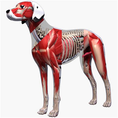 dogs anatomy the 45 best most expensive 3d models rockthe3d