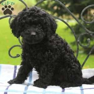 puppies for sale in nj 300 miniature poodle puppies for sale in de md ny nj philly dc and breeds picture