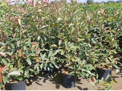 Glanzmispel Robin 24 by Pflanzen Mit Anwachsgarantie Photinia Rote Glanzmispel