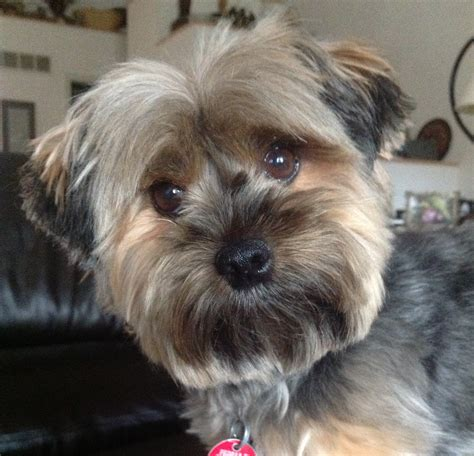 pictures of yorkie haircuts good yorkie haircut yorkie haircuts pinterest