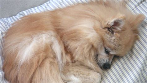 how are pomeranians in heat pomeranian news stories pictures products pomeranians home