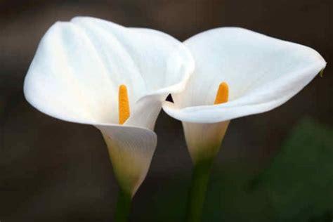 imagenes de flores calas im 225 genes de flores y plantas cala