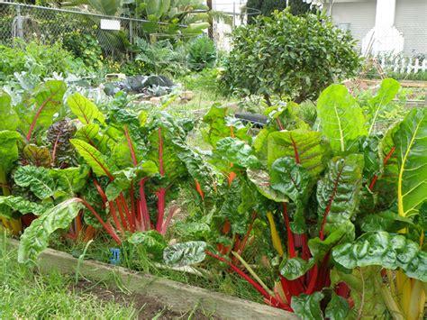 growing swiss chard bonnie plants