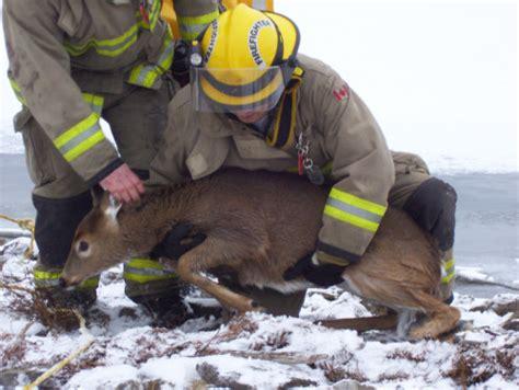 rescues deer deer rescue 5 manitoulin expositor