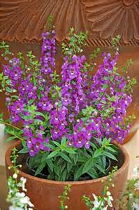 serena angelonia louisiana super plant spring 2011 lsu agcenter