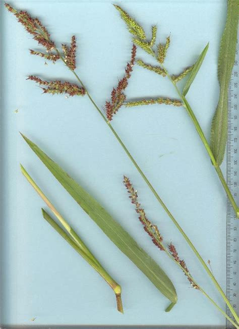 Scientific Name Of Grass by Barnyard Grass Department Of Agriculture And Aquaculture