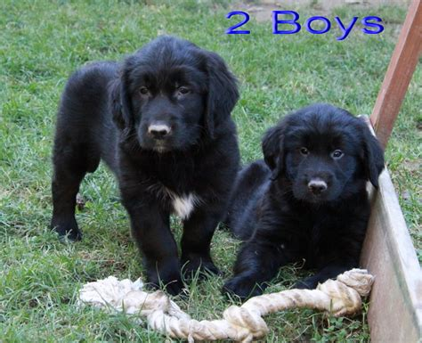 puppies for sale ontario picture of one of our golden retriever puppies for sale in