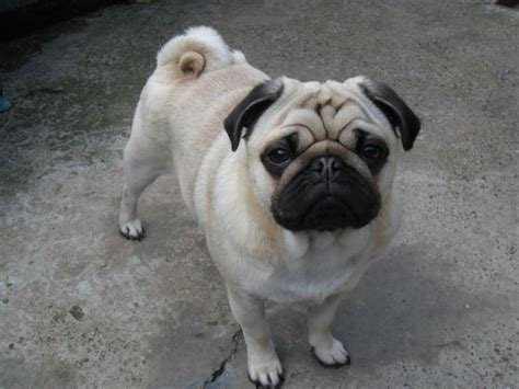pug studs fawn pug for stud leeds west pets4homes