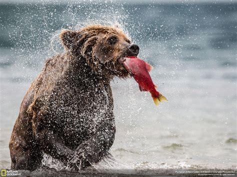 foto in foto l orso pescatore nelle grandi foto della settimana